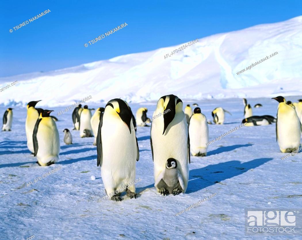 Imagen: Emperor Penguin.