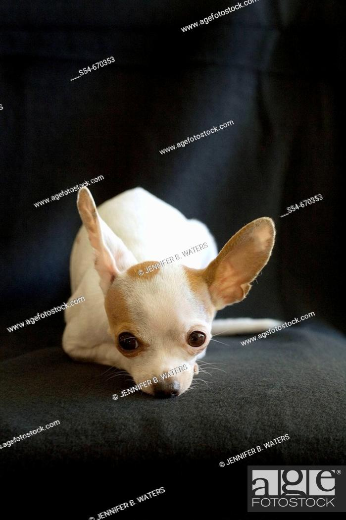 Stock Photo: An adult female Chihuahua resting.