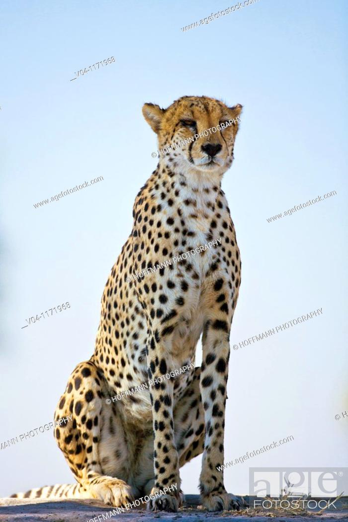 Stock Photo: Cheetah (Acinonyx jubatus) in Botswana, Africa.