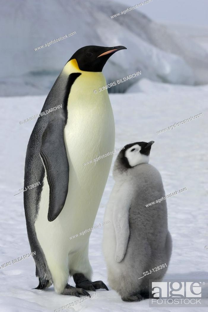 Stock Photo: emperor penguin with cub - Aptenodytes forsteri.