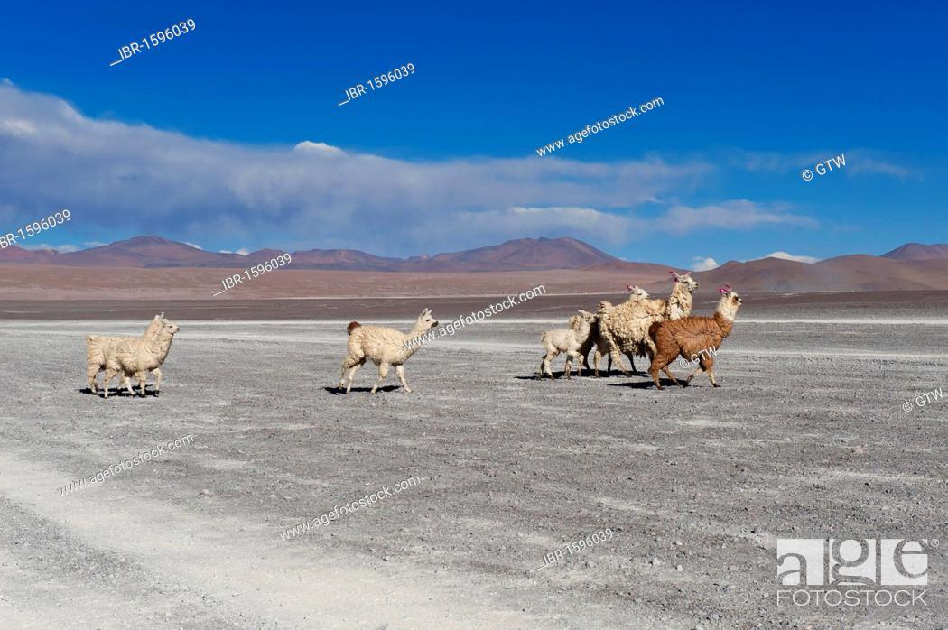 Stock Photo: Llamas (Lama glama), Salar de Uyuni, Potosí, Bolivia, South America.