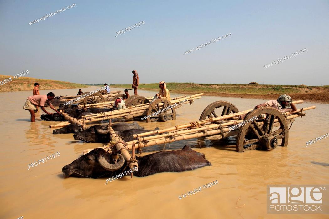 Stock Photo: Buffalos are taking rest in a river at summer season, Rajshahi, Bangladesh.
