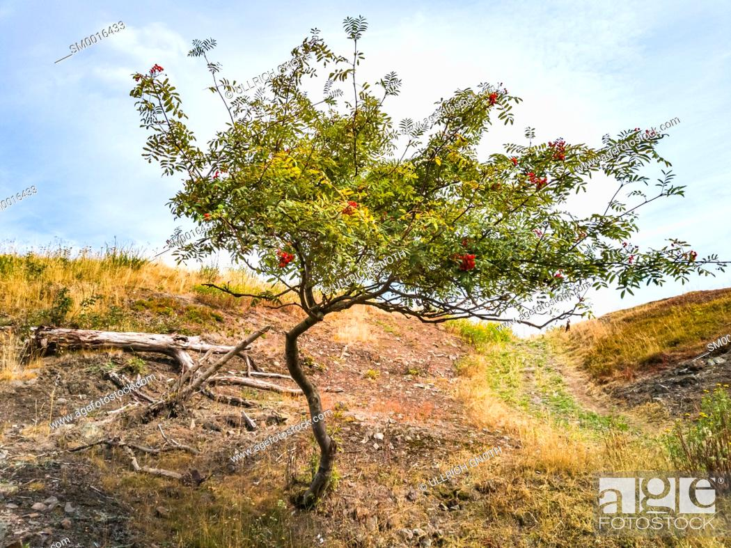 Stock Photo: Mountain ash tree, Sorbus aucuparia, on a hill slope in the wild.