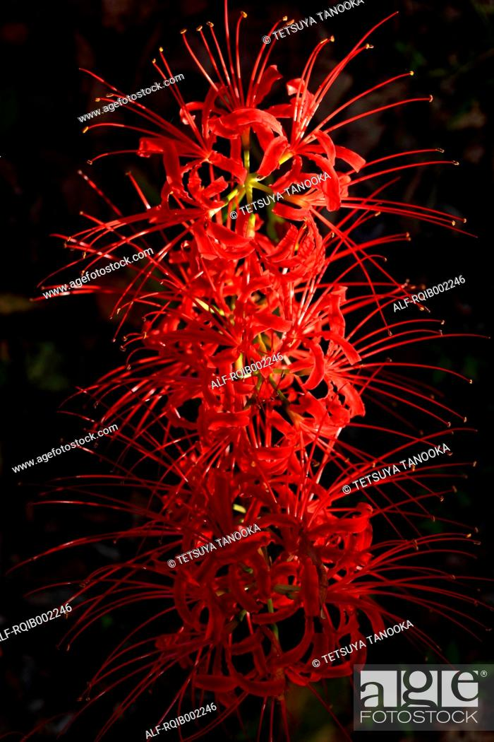 Stock Photo: Red spider lily.