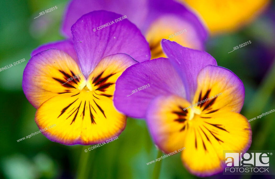 Stock Photo: Pansy flower. Germany.