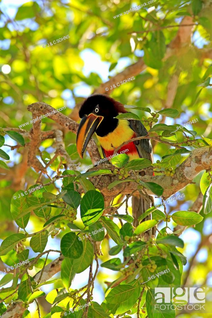 Stock Photo: Chestnut-Eared Aracari, (Pteroglossus castanotis), adult on tree, Pantanal, Mato Grosso, Brazil, South America.