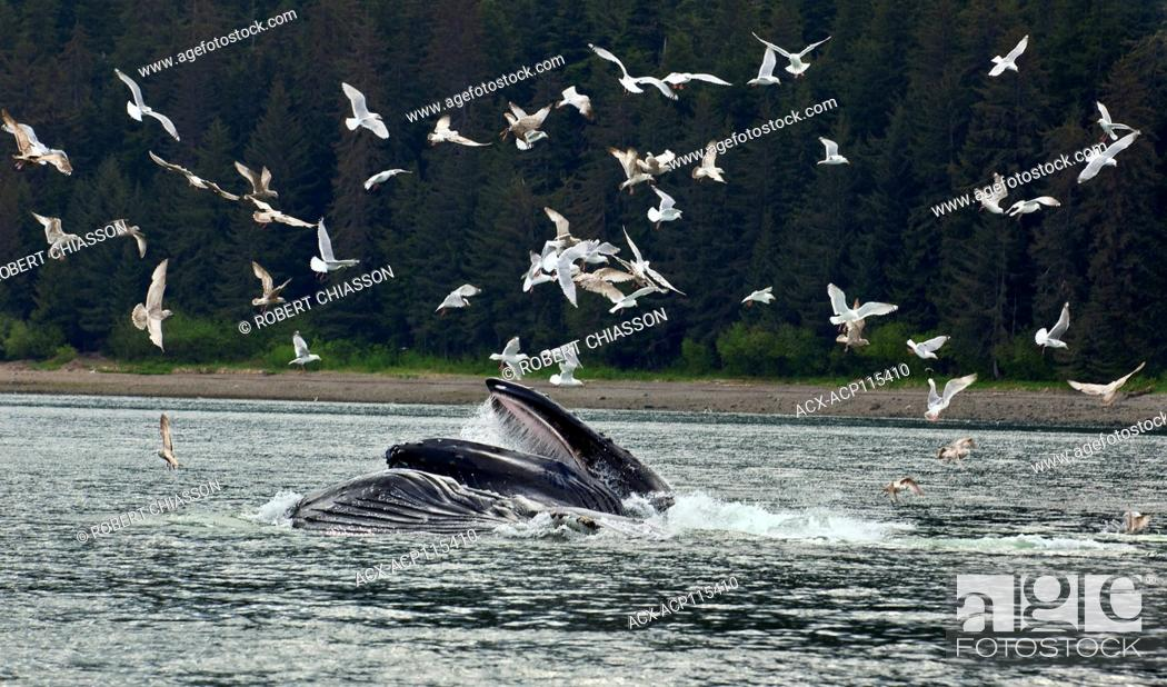 Stock Photo: Humpback whales surfacing with mouths wide open to capture herring that they 'corralled' earlier by exhaling a curtain of air bubbles beneath the fish.
