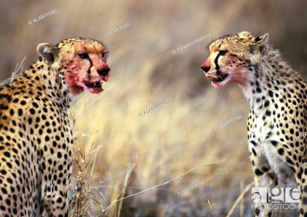 Stock Photo: Africa, Tanzania, cheetahs sitting with blood-stained faces.