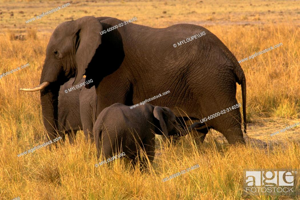 AFRICAN ELEPHANTS Loxodaonta Africana are social animals