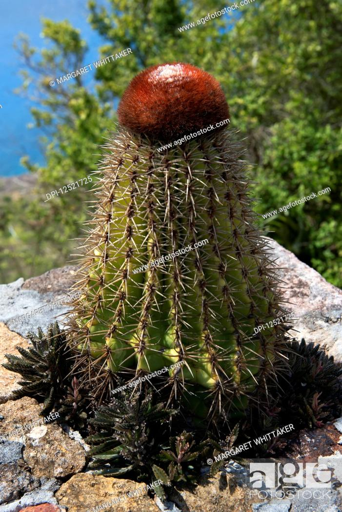 Stock Photo: Turk's Cap Cactus (melocactus intortus); Shirley Heights, Antigua and Barbuda.