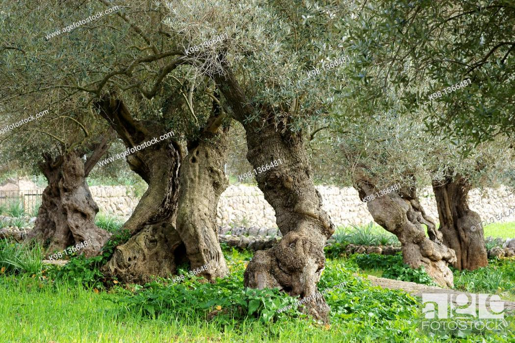 Stock Photo: Centennial olive trees, Sa Bassa, Serra de Tramuntana, Bunyola, Majorca, Balearic Islands, Spain.