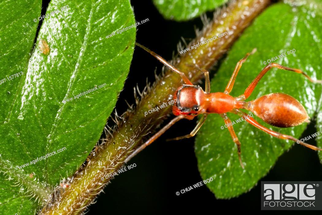 Stock Photo: Ant mimic spider found at Kampung Skudup, Sarawak, Borneo.