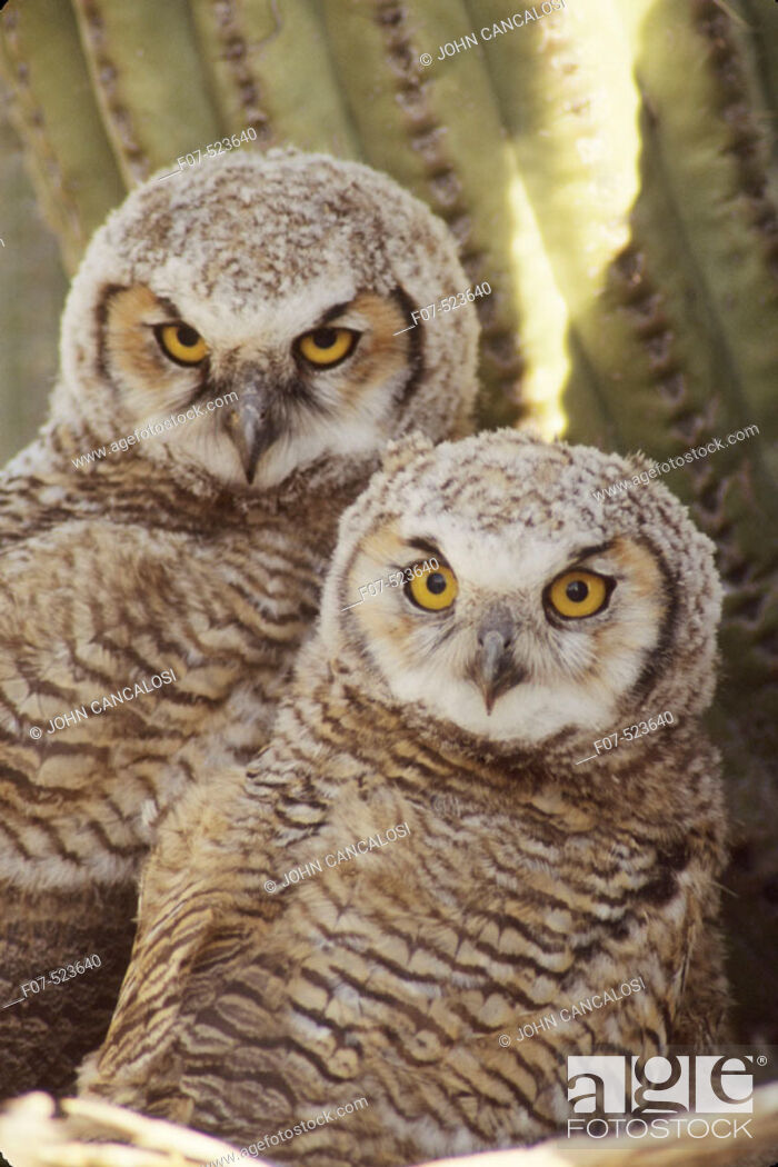 Stock Photo: Great Horned Owl Chicks (Bubo virginianus). Arizona. Chick in nest in Saguaro Cactus. A really large owl with ear tufts or 'horns'.
