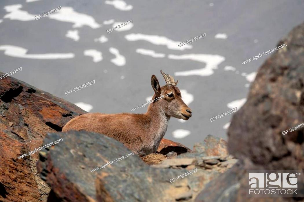 Stock Photo: Mountain goat behind the rocks over mountain peak with snowfields in the background.