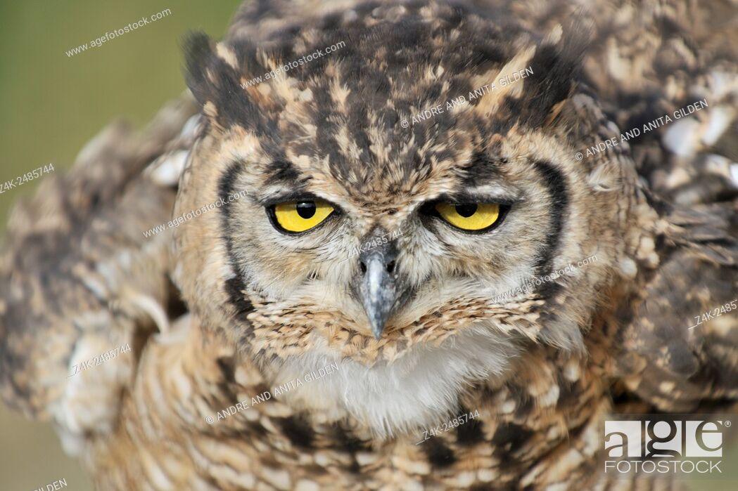Imagen: Eagle owl (Bubo bubo) portrait.