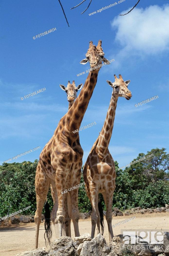 Stock Photo: Giraffe.
