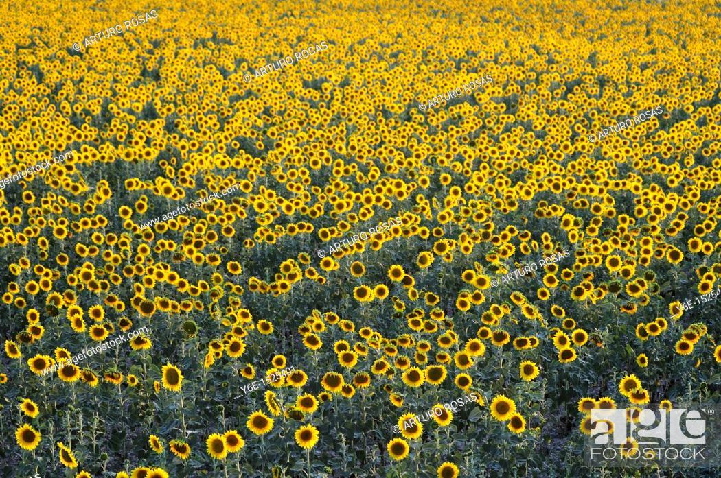 Stock Photo: Sunflowers field Nº 2.