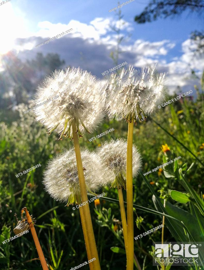 Stock Photo: Spring landscape at sunset with four dandelions moved by the wind at Casa de Campo, MADRID, SPAIN, EUROPE.