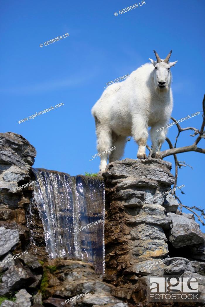 Imagen: mountain goat Zoo Sauvage Saint Felicien.