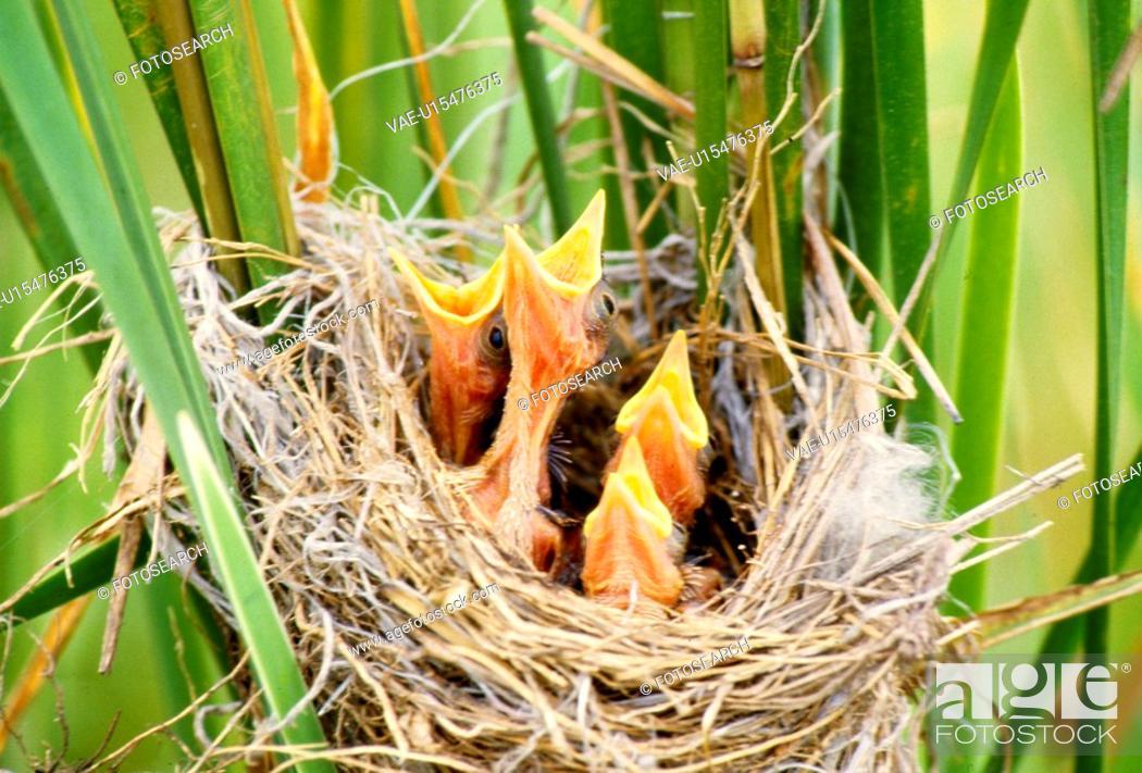 Stock Photo: chick, nature, bird`s nest, grass, scene, young, landscape.