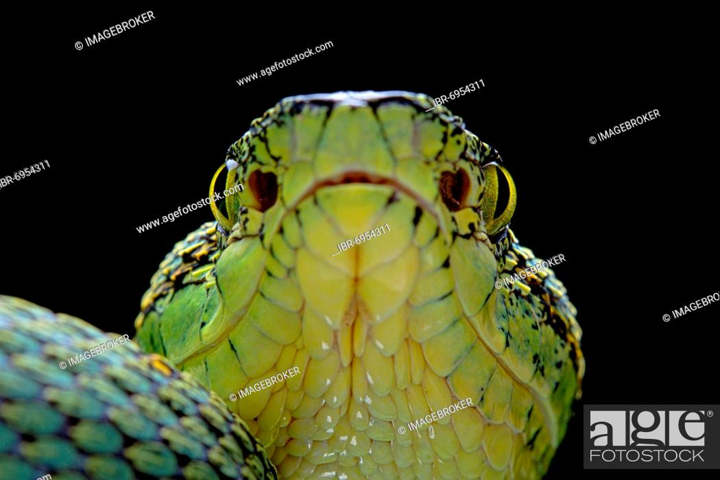 Stock Photo: Forest Pit Viper (Bothriopsis bilineata) french guyana.