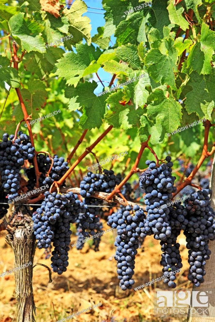 Stock Photo: France, Gironde, Saint-Emilion, Bordeaux vineyards, red wine grapes.