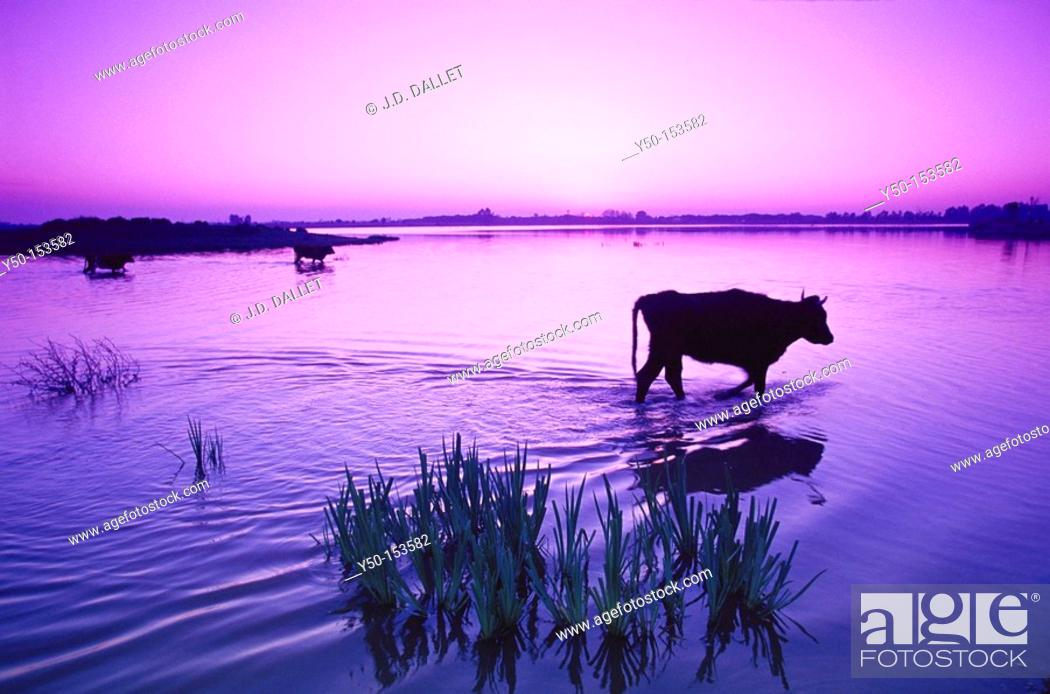 Stock Photo: Cows at Boca del Lobo, Doñana Narional Park. Huelva province, Andalucia, Spain.