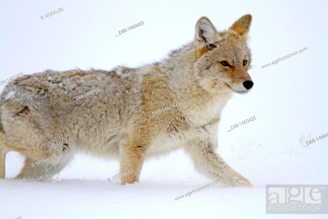 Stock Photo: United states , Wyoming-Montana , Yellowstone National Park , Lamar Valley , Coyote  Canis latrans.