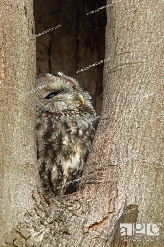 Stock Photo: Tawny Owl / Waldkauz (Strix aluco) perchend, resting, roosting in its nest hole, watching out of a tree hollow, natural surrounding, wildlife, Europe.
