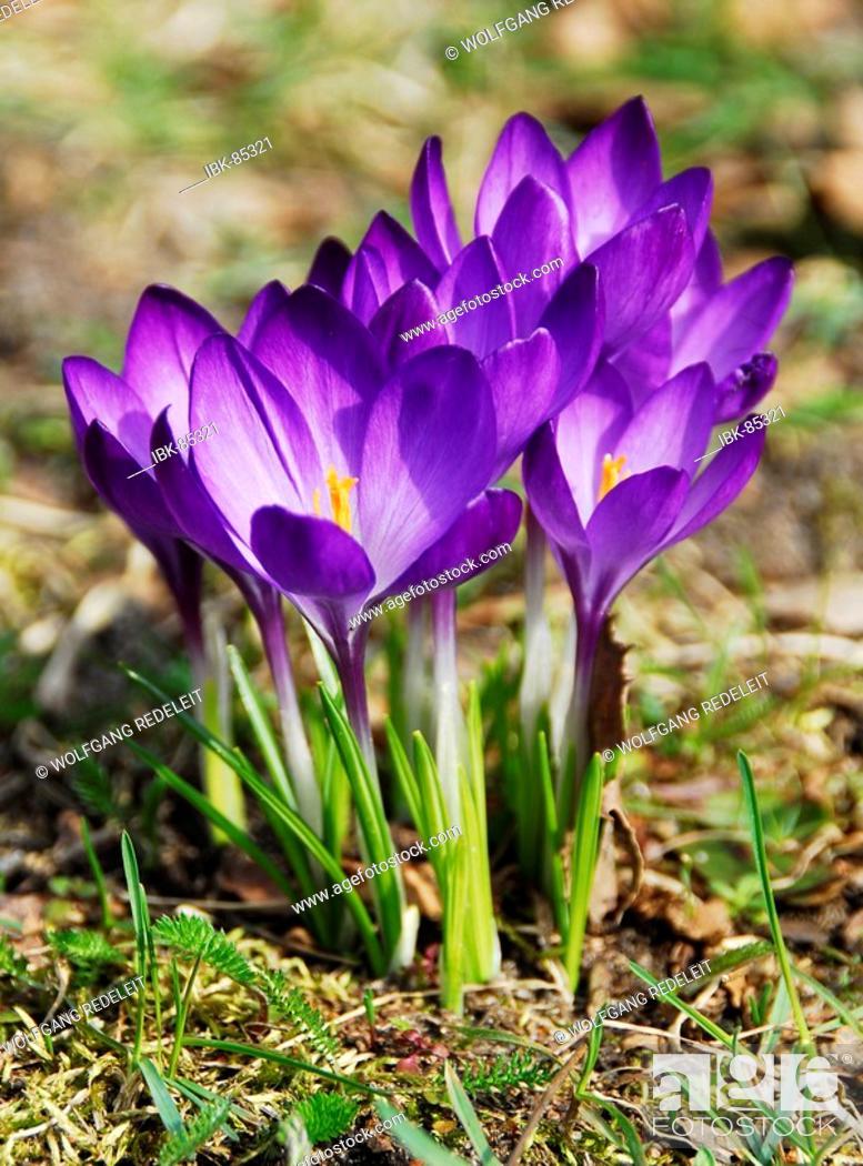 Stock Photo: Flowering crocuses in spring.