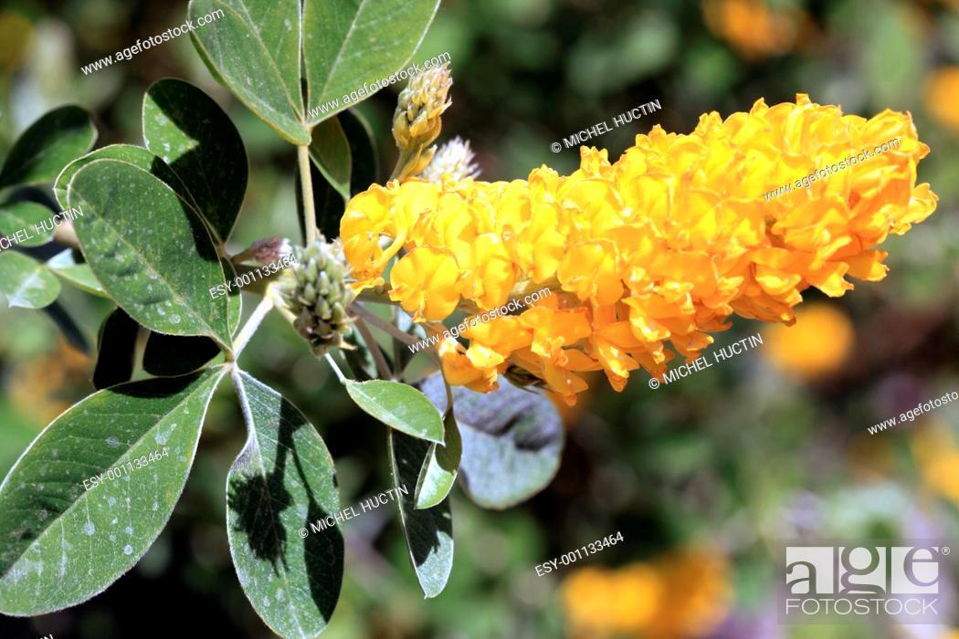 Stock Photo: pineapple broom or leaf shrub Cytisus battandieri silky-silver, flowers have a perfume of pineapple.