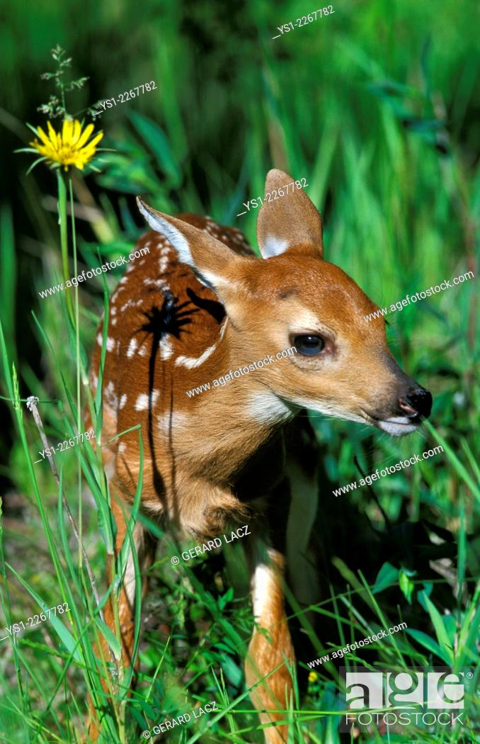 Stock Photo: White-Tailed Deer, odocoileus virginianus, Fawn with Flower.