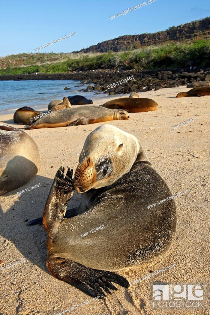 Stock Photo: Galapagos Sea Lion  Santa Fe Island  Galapagos islands  Zalophus californianus wollebacki.
