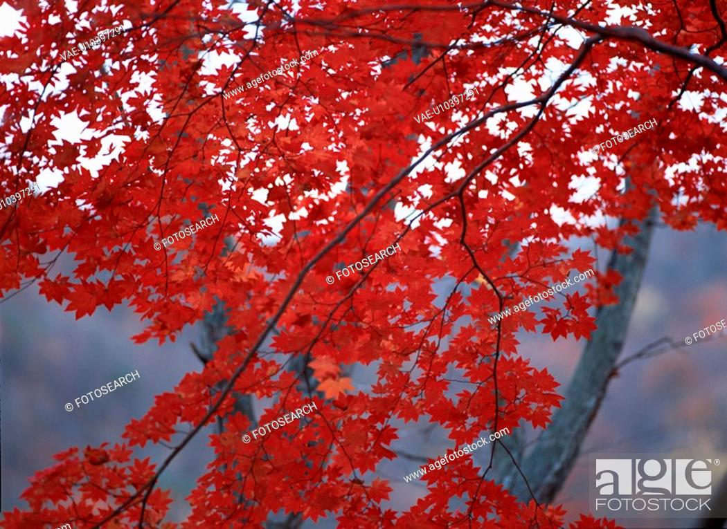 Stock Photo: Red Maple Leaves On Branch.