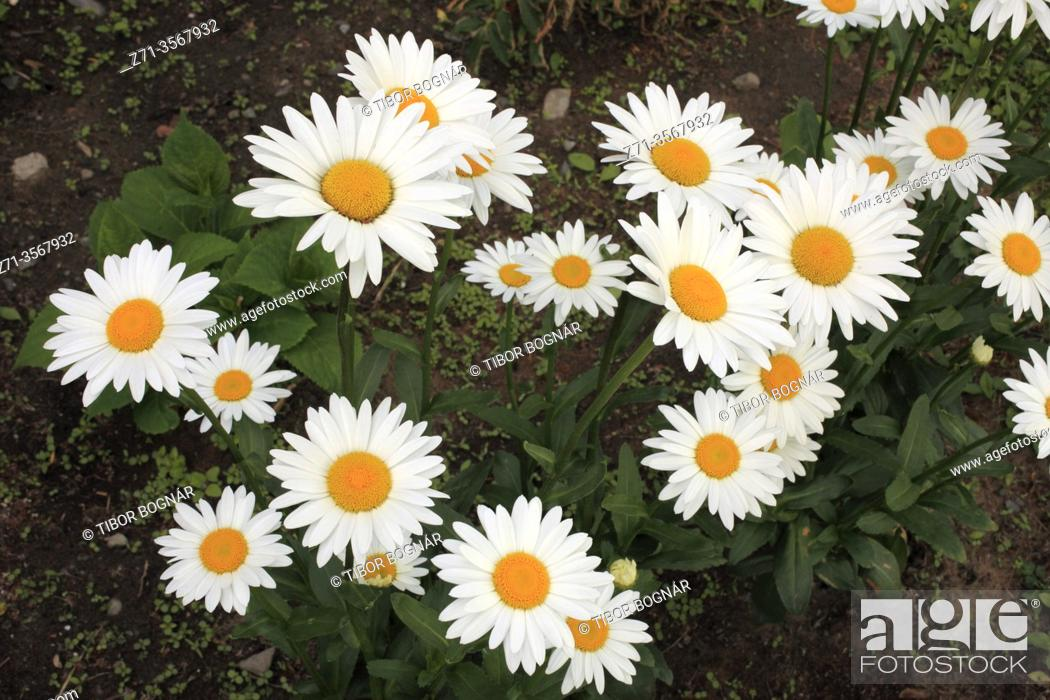 Stock Photo: Daisies, flowers, .