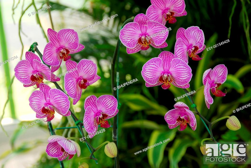 Stock Photo: Pink Moth Orchid flower.