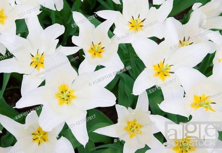 Stock Photo: white tulips.
