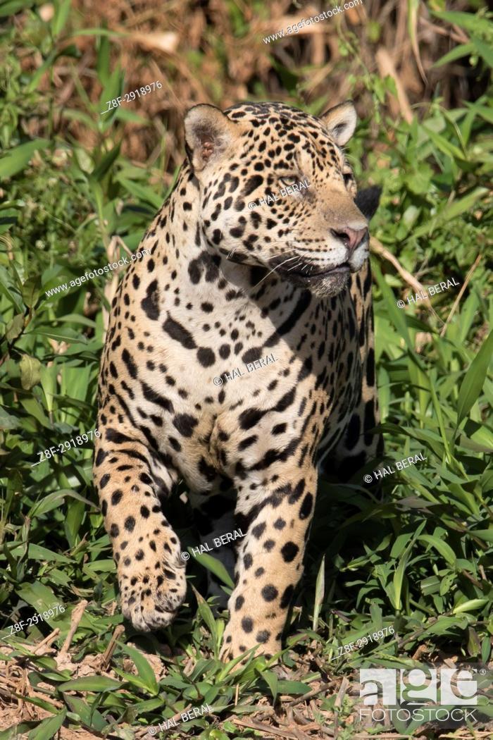 Stock Photo: Jaguar (Panthera onca) Pantanal, Brazil.