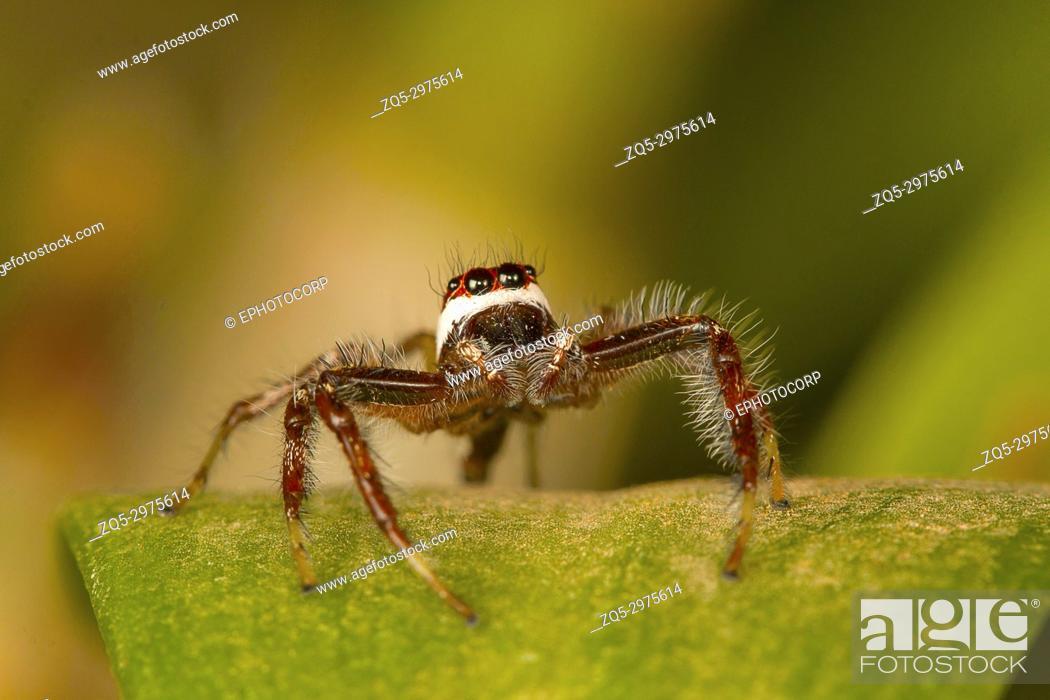 Stock Photo: Male jumping spider Telamonia dimidiata, close-up.