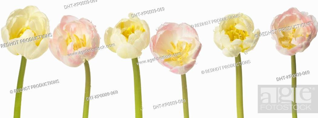 Stock Photo: Six white Tulips in a row.