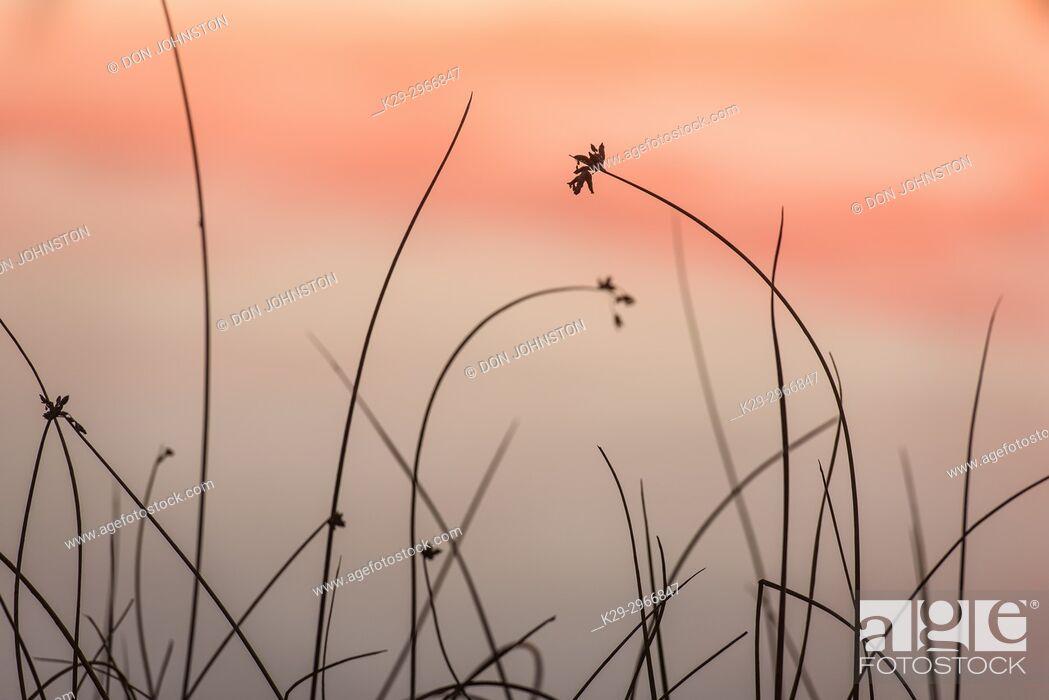 Stock Photo: Reedbed along shore of Simon Lake at sunset, Greater Sudbury, Ontario, Canada.