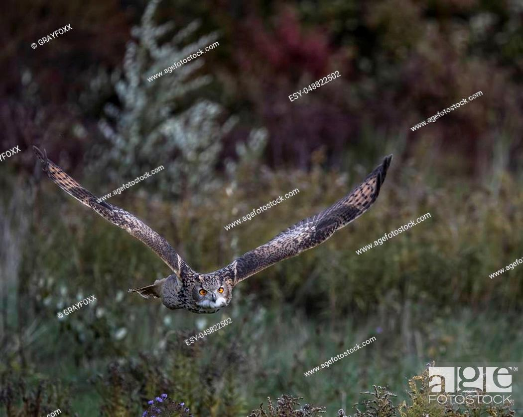 Stock Photo: Turkemenian Eagle Owl in flight across a green meadow.