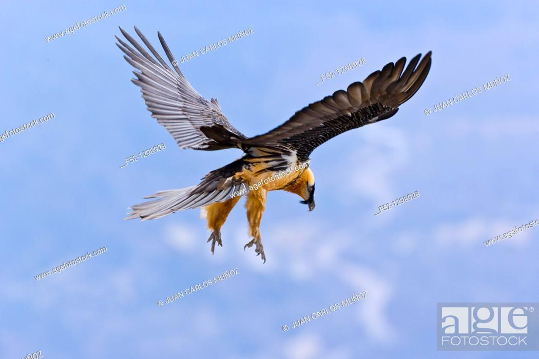 Stock Photo: Lammergeier or Bearded Vulture (Gypaetus barbatus), Spain.