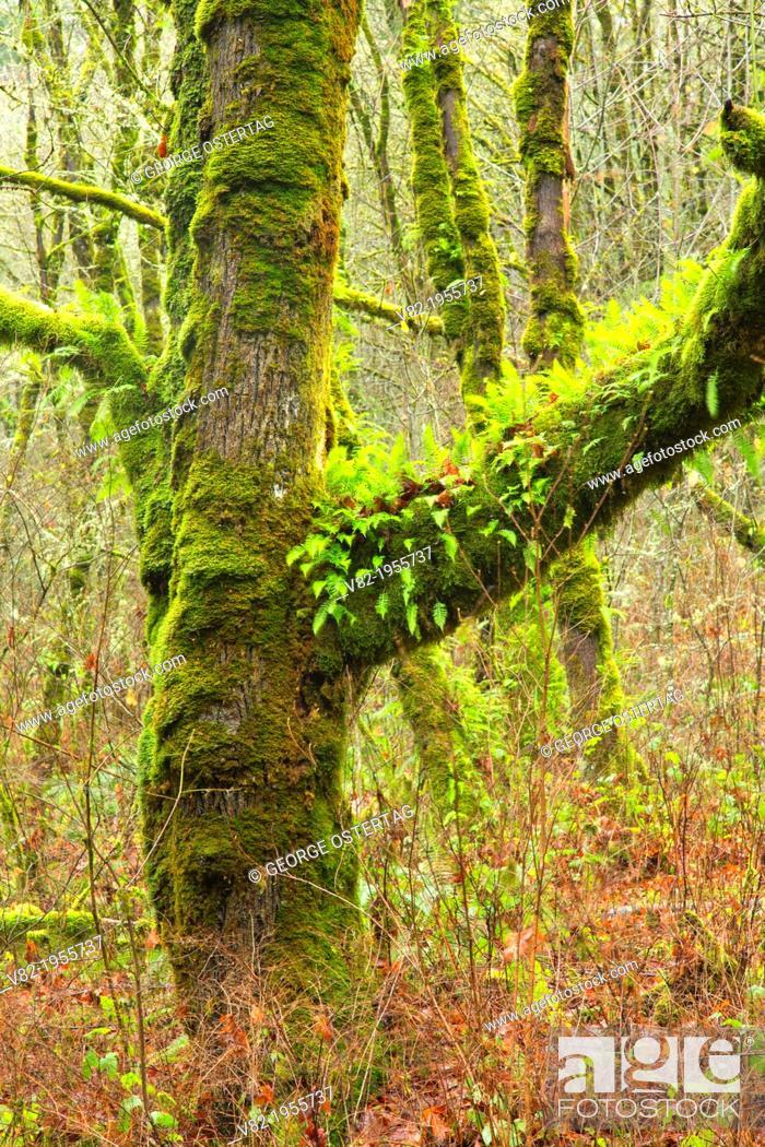 Bigleaf Maple Acer Macrophyllum Mcdonald State Forest Oregon
