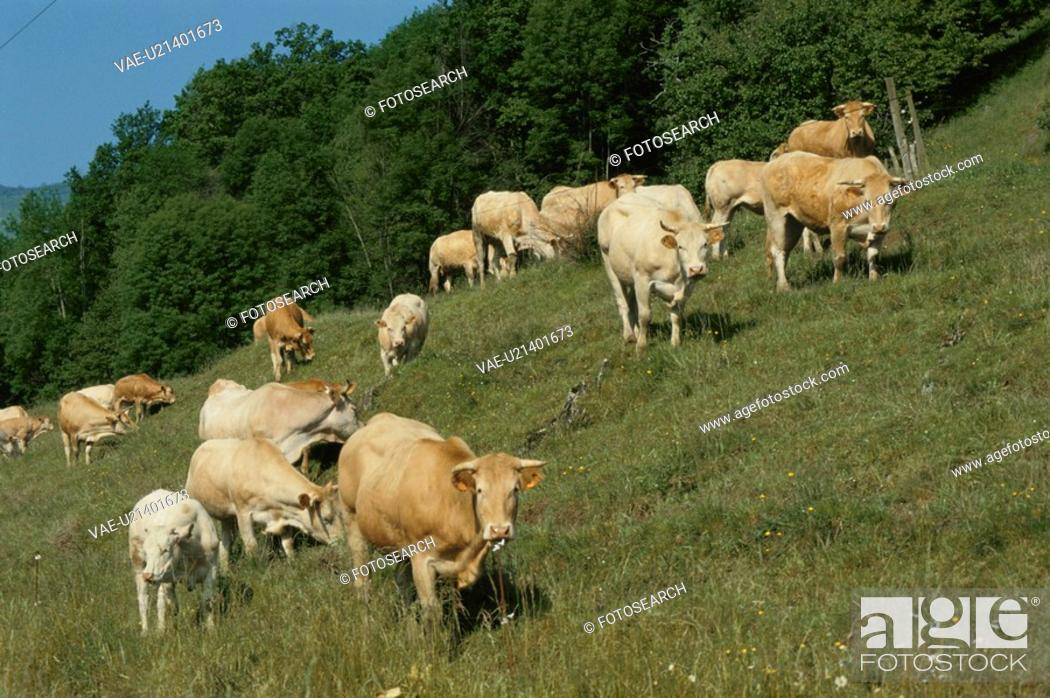 Stock Photo: A Herd Of Cows.