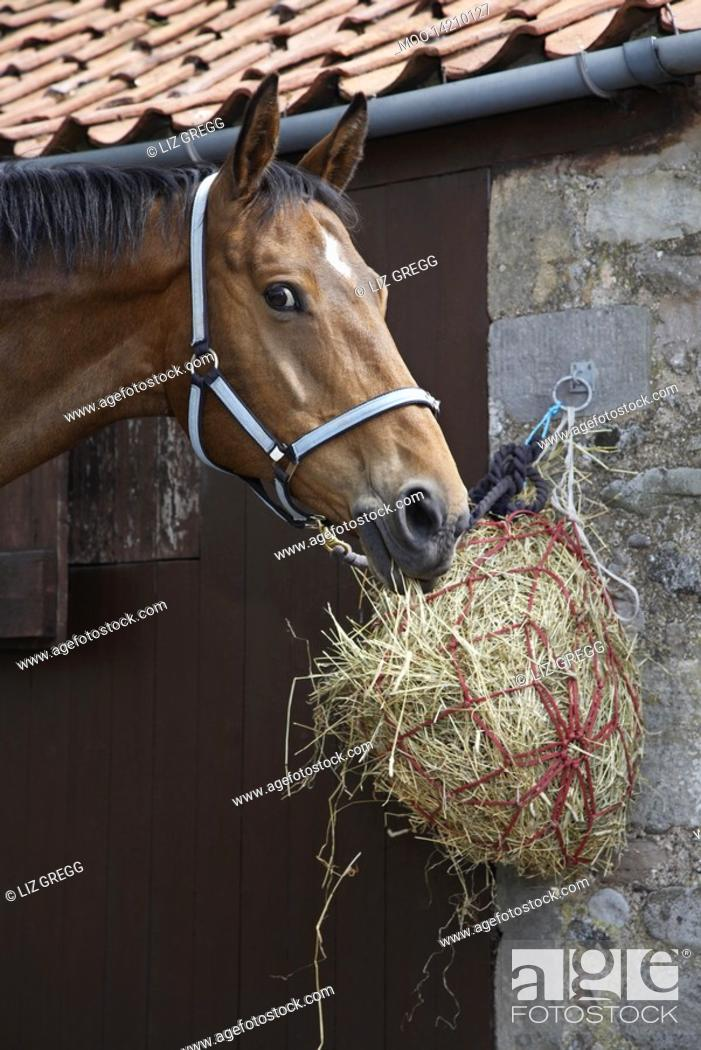 Stock Photo: Horse eating hay outside stable.