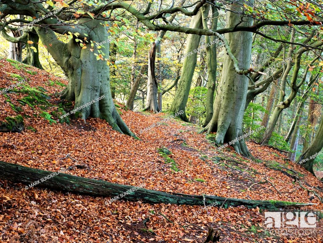 Stock Photo: Path through Autumn Trees in Skrikes Wood near Pateley Bridge North Yorkshire England.
