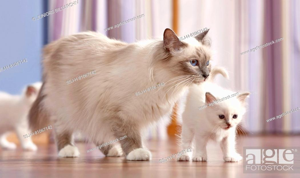 Stock Photo: Sacred cat of Burma. Mother with two kittens (4 weeks old) walking on parquet. Germany.