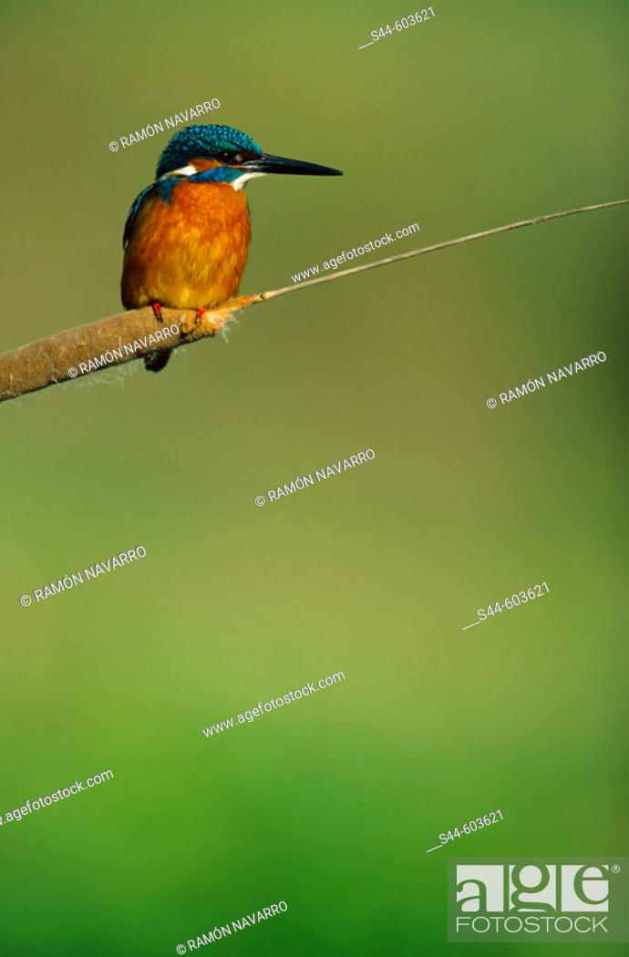 Stock Photo: Kingfisher (Alcedo atthis).