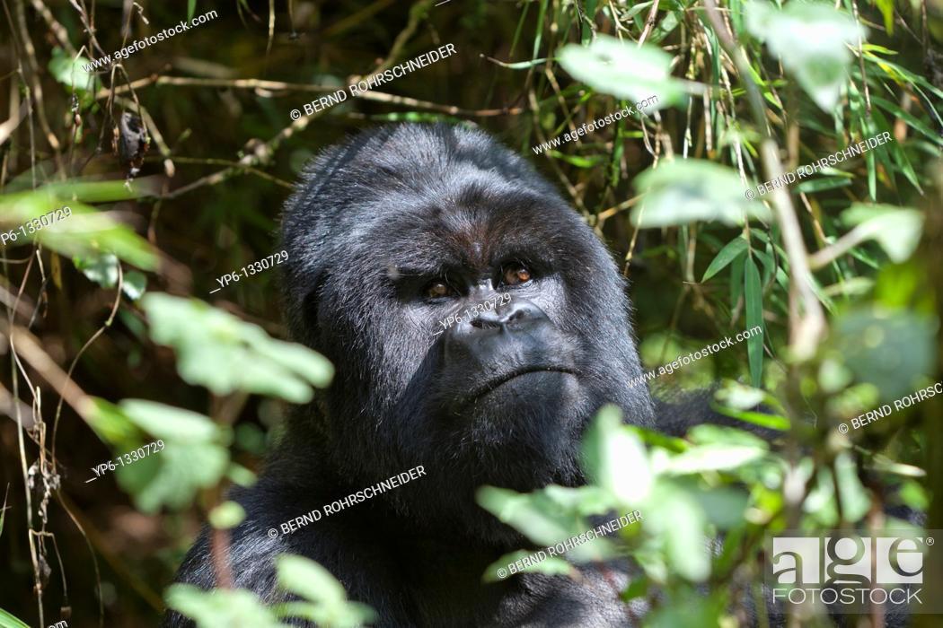 Stock Photo: Mountain Gorilla, Gorilla beringei beringei, portrait of a silverback in vegetation, Volcanoes National Park, Rwanda.